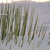 This is the very top of a yucca.  The gypsum moves around in White Sands covering plants and freeing them.