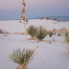White Sands yucca in the sunset.
