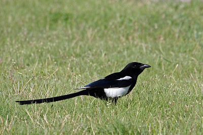 Magpie @ Badland NP, SD - June 2011