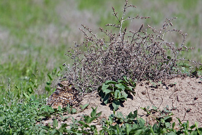 Burrowing Owl @ Badland NP, SD - June 2011