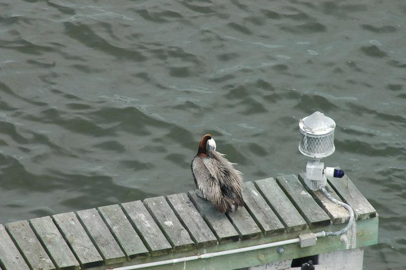 Pelican preening.
