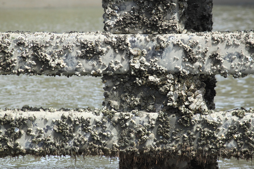 Barnacles on a gate near the bridge.  Low tide.