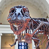 The Tyrannosaurus fossil skeleton named Sue, discovered in South Dakota.  The Chicago Field Museum.