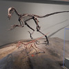 Carnivorous theropods, Chicago Field Museum.