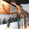 Columbian Mammoth skeleton. The Chicago Field Museum.