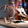 Protoceratops fossil skeleton, herbivorous dinosaur from Cretaceous period, Chicago Field Museum.