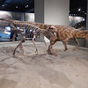 Carnivorous theropod, Chicago Field Museum.