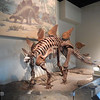 Stegosaurus. The Chicago Field Museum.