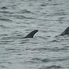 Risso's Dolphin, Monterey, CA