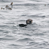 Sea Otter, Monterey, CA