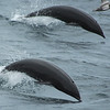 Northern Right Whale Dolphin, Monterey, CA