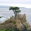 Monterey Cyprus, Monterey CA