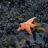 Sea Star, Monterey, CA