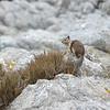 Rock Squirrel, Monterey, CA