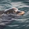 California Sea Lion, Monterey, CA