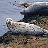 Harbor Seal, Monterey, CA