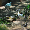 Whooping Crane (Grus americana) San Antonio Zoo