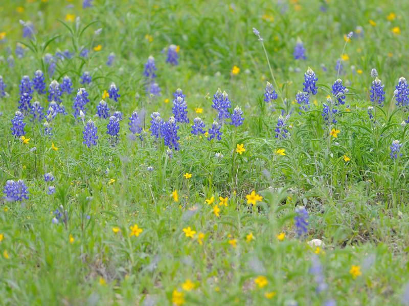 Texas bluebells (Eustoma grandiflora) San Antonio TX