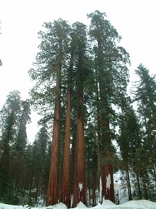 Sequoia park - Le sequoie: non Ë facile percepire la dimensione... 2004-03-05 at 22-30-25