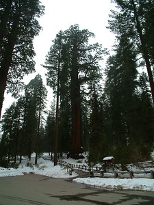 Sequoia park - Le sequoie: non Ë facile percepire la dimensione... 2004-03-05 at 22-30-06