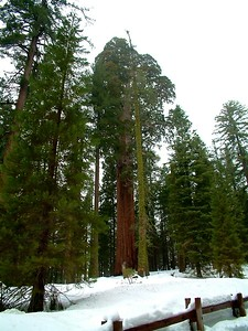 Sequoia park - Le sequoie: non Ë facile percepire la dimensione... 2004-03-05 at 22-35-15