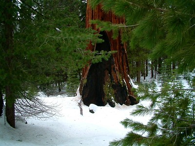 Sequoia park - Dettaglio del tronco 2004-03-05 at 22-46-09