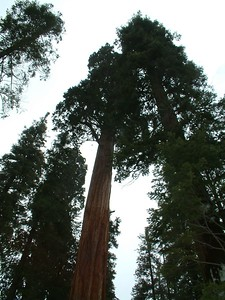 Sequoia park - Le sequoie: non Ë facile percepire la dimensione... 2004-03-05 at 22-26-48