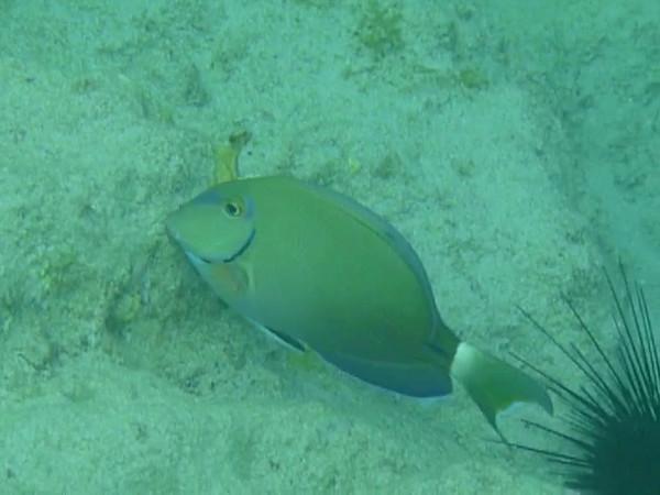 Excellent Green Fish P275