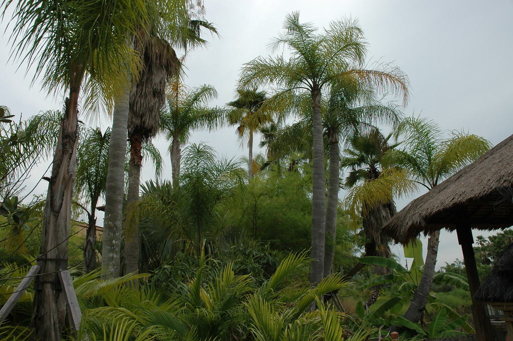 Huge palm trees on the hotel grounds.