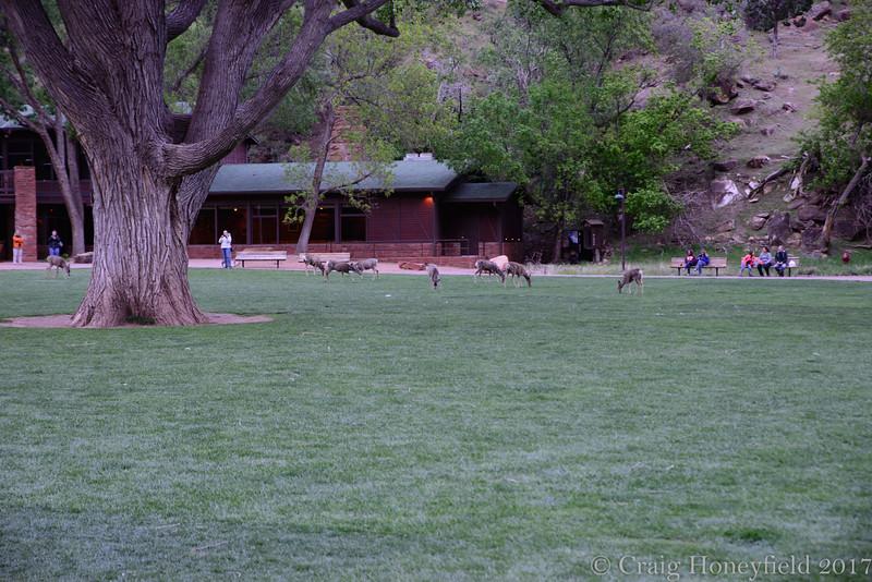 Deer, Zion Lodge