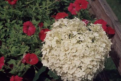 Mom's beautiful hydrangea