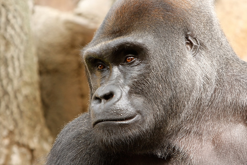 Pensive at the Henry Doorly Zoo Omaha, NE