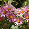 Pink New England Asters in the butterfly garden!