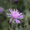 Pretty pink Knapweed growing along the Parkway