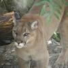 Closeup of mountain lion