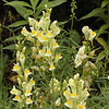 Butter and Eggs or Yellow Toadflax growing along the path to the lower falls
