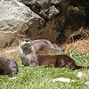 Otters at Grandfather Mountain