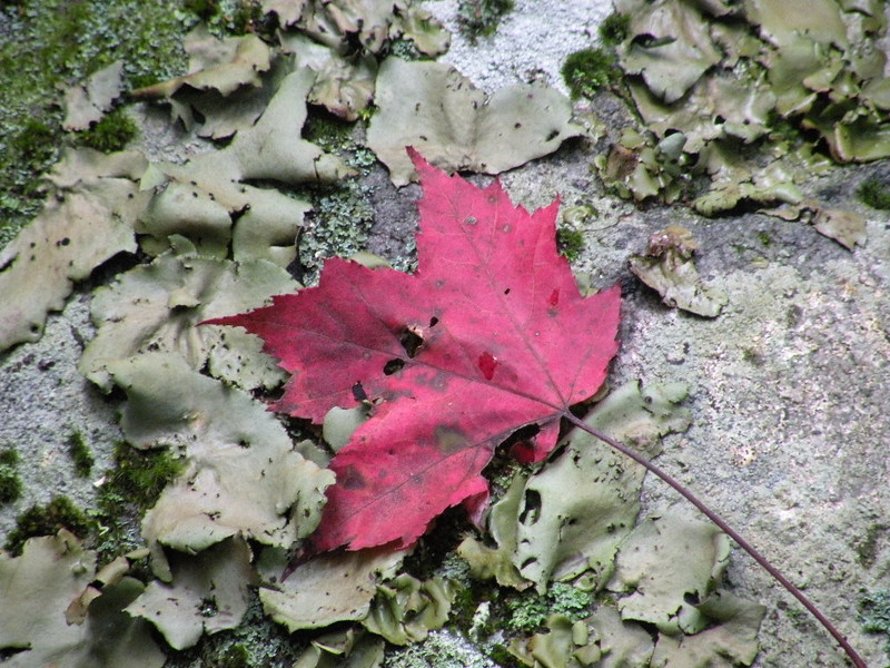 Rock Tripe on a stone and the first signs of coming Fall.