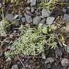 This is some sort of moss I'd never seen before. I am not sure if it is what they call tundra moss?