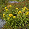 Blue Ridge Goldenrod growing atop Grandfather Mountain amid sand myrtle.<br /> The rarest of all goldenrods and a kind of relict plant species of some goldenrod family that was once abundant.  It only exists in 3 colonies globally! One of those colonies is right here atop Grandfather Mtn., NC.  <br /> Solidago spithamaea<br /> Asteraceae 8/29/09