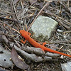 Red Eft <br /> Wilson Creek Wilderness, NC
