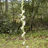 Tall species of Ladies Tresses. This was about 2 1/2 feet tall!