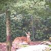 Doe a deer.. <br /> Grandfather Mtn, NC
