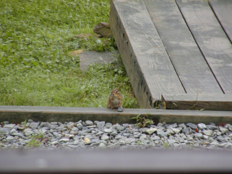I had given some pieces of cookie to a group of chipmunks. This one was begging for more.