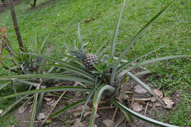 This is how pineapple grow.  You can apparently chop the top off and replant to get 3 more fruit.