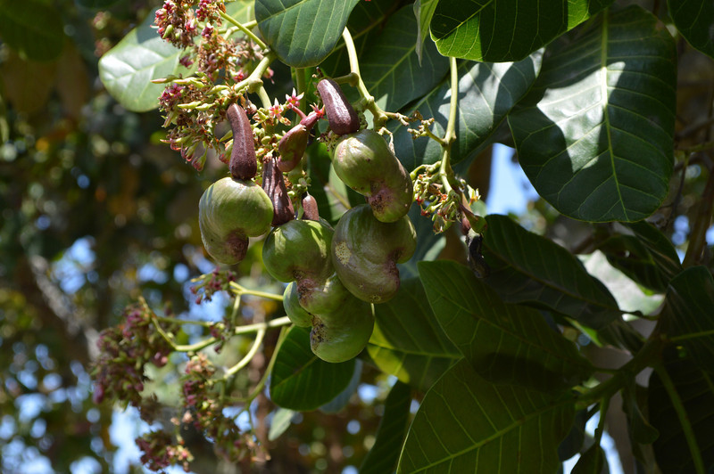 These are cashews just starting to develop on the tree.  Apparently before you eat them, you need to burn the shell or when you eat them, it will burn your lips and mouth.