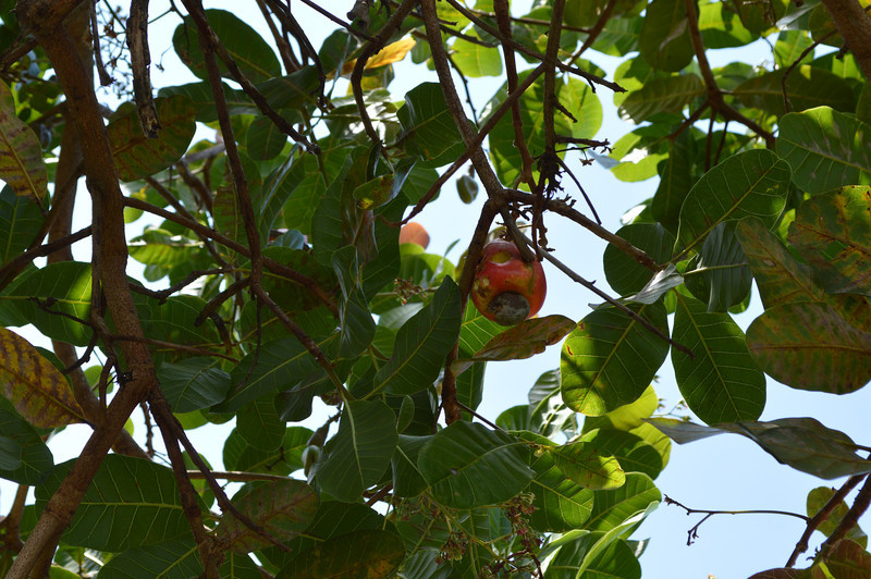 This is a cashew tree with a cashew apple attached to it.