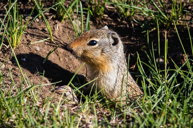 Idaho Ground Squirrel