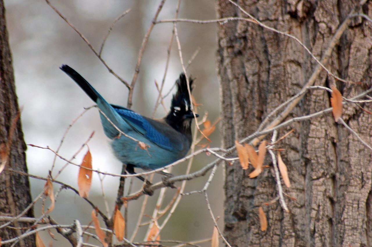 Jay in Bandelier National Park