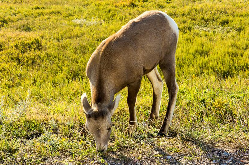 Baby Rams horn